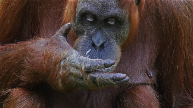 Orang Utan, pongo pygmaeus, Female eating, Real Time 4K video