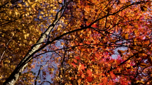 Orange and green autumn leaves falling from trees video