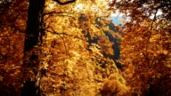Orange autumn leaves in mountain forest video