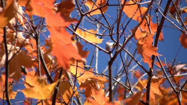 Orange autumn leaves. video