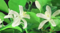 Orange blossom blooming 4K video