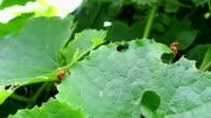 orange bug mating video