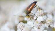 Orange bugs copulating on a flower video