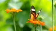 orange butterfly video