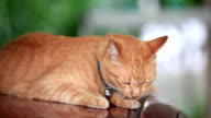 Orange colored cat lick its body to clean itself. video