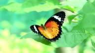 orange colour butterfly video