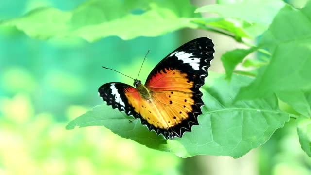 orange colour butterfly video