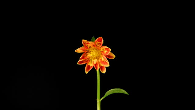 Orange Dahlia Time Lapse video