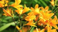 Orange Daylily video