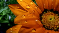 Orange Flower In Rain video