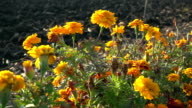 Orange French marigolds on the wind, slow motion video