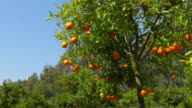 Orange fruit at branch of tree, spring season, sunny day video