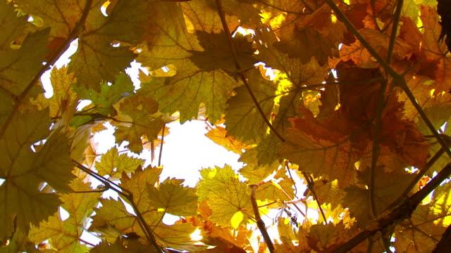 Orange Grape Leaves video