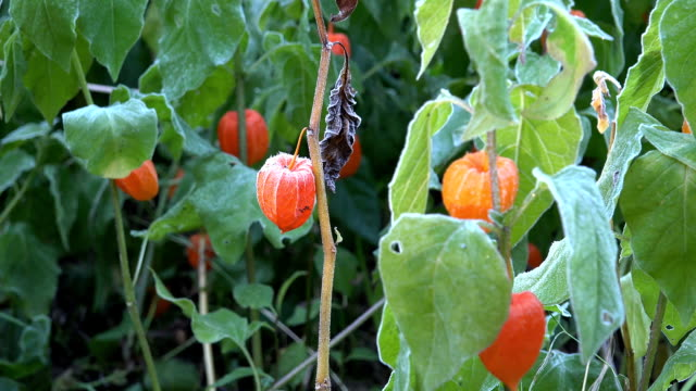 Orange husk tomato plants covered with rime frost. video
