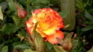 Orange Irish rose 1 video
