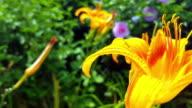 Orange Lilies Flowers 4K video