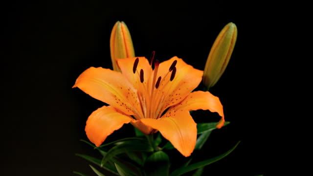 Orange Lilies Time Lapse video