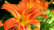 Orange Lily video