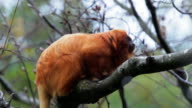 Orange Monkey Jumps From a Branch - Animals and Wildlife video
