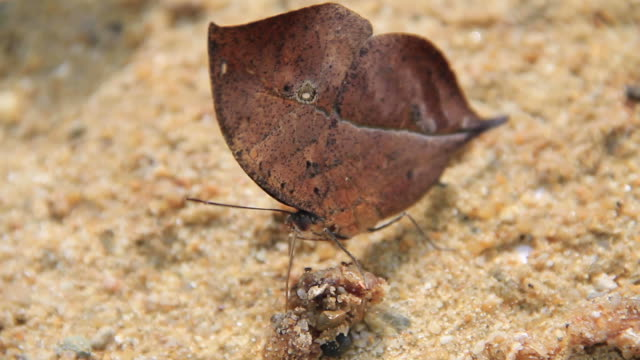 Orange Oakleaf Butterfly video