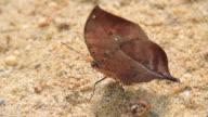 Orange Oakleaf Butterfly video
