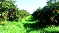 Orange orchard in the countryside from Portugal video