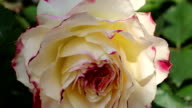 orange rose blooming in the garden video