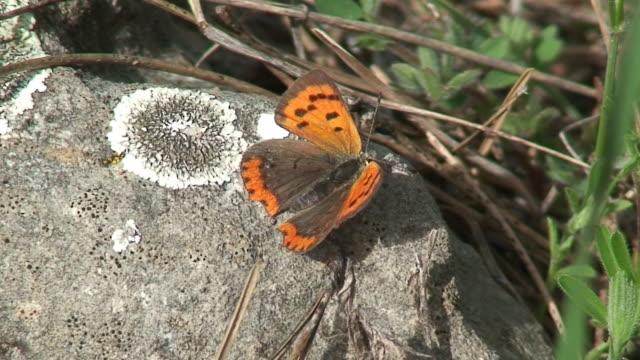 Orange tiny butterfly video
