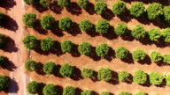 Orange trees plantation at May in Portugal, Algarve, aerial view video