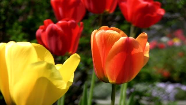 Orange tulip. video