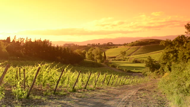 Orange vineyard at sunset video