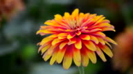 Orange Zinnia video