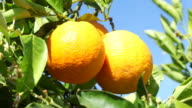 Oranges - close up video
