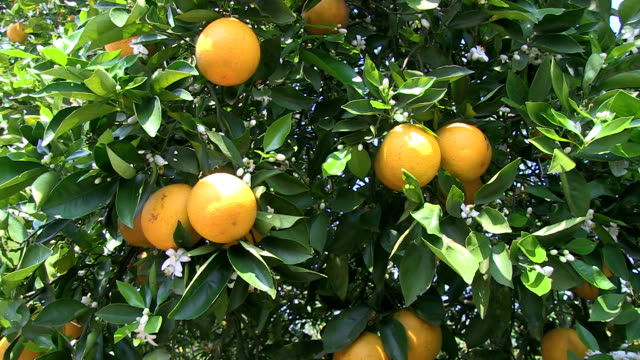 Oranges on a tree video