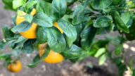 Oranges on an Orange Tree Swaying in the Wind video