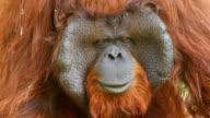 Orangutan face video