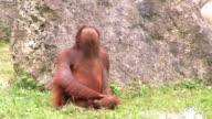 Orangutan grimacing video