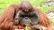 Orangutan in captivity in a zoo,looking in the distance video