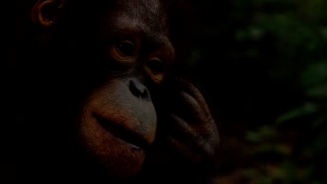 Orangutan in human hug Slow motion video