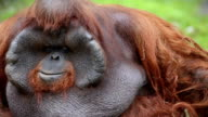 orangutan male video