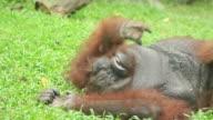 Orangutan scratching on the grass video