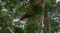 Orangutan swings through trees video