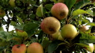 Orchard Apples video