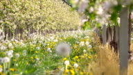 HD DOLLY: Orchard In Spring video