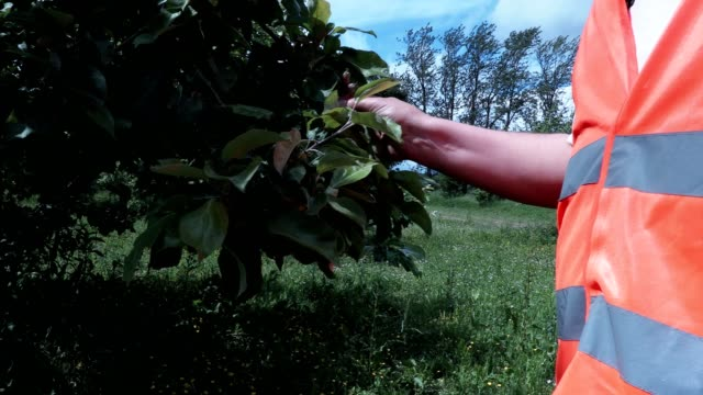 Orchard man check new apples how grooving video