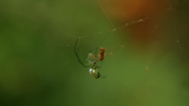 Orchard Spider Webbing Ant Sequence (HD) video