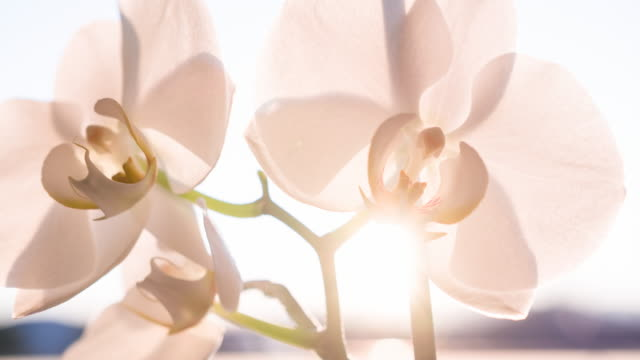 Orchid blossoms video