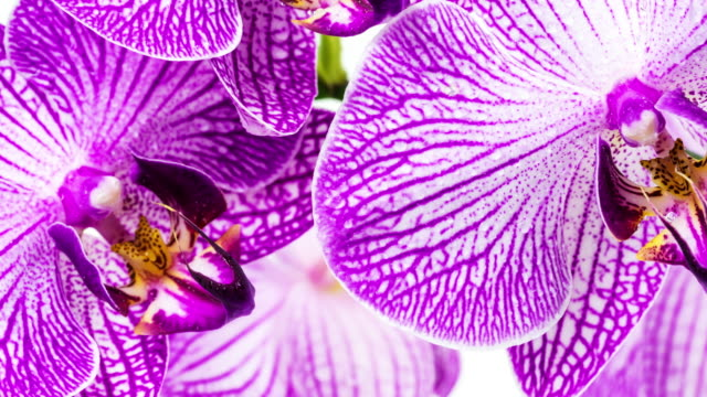 Orchid Close Up (4k HD available) video