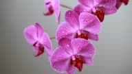 Orchid flowers with water drops after spraying video