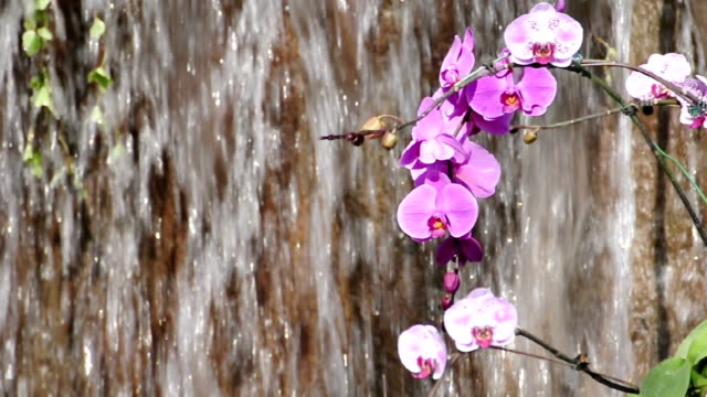 Orchid near the waterfall video